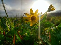 Nature with green grass field and yellow flowers royalty free stock photos