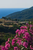 Purple flowers on morning sun by a coastal road in Sithonia Stock Photography