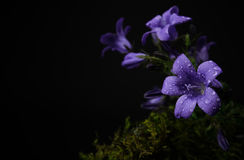 Purple flowers and moss. I brought a little bit of the outside inside the studio. :) These beautiful purple/blue flowers have a lovely cool tone to them Royalty Free Stock Photography