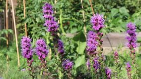 Purple flowers moving in the wind in the garden stock video footage