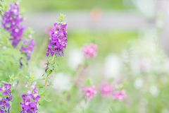 Purple flowers for background. Purple flowers in nature for background Royalty Free Stock Photo