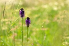 Purple flowers in nature field Eifel Stock Photo