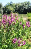 Purple flowers near the river. In sunny day stock images