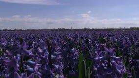 Purple flowers in The Netherlands. Purple flowers in a field near The Keukenhof in The Netherlands stock footage