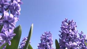 Purple flowers in The Netherlands. Purple flowers in a field near The Keukenhof in The Netherlands stock video