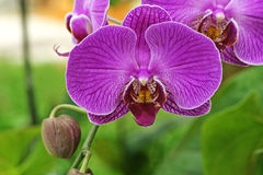 Purple Flowers Orchid. In Thailand Royalty Free Stock Photography