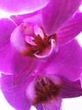 Purple flowers of orchid. On a white background , a nice bright pictures for wallpaper and on the desktop Stock Image