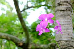 Purple flowers of Orchids and tree , Plantae Orchidaceae. Purple flowers of Orchids and tree backdrop, Plantae Orchidaceae Royalty Free Stock Photography