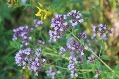 Purple flowers of origanum vulgare or common oregano, wild marjoram. Cool background stock image
