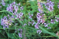 Purple flowers of origanum vulgare or common oregano, wild marjoram. Cool background royalty free stock photos