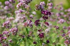 Purple flowers of origanum vulgare or common oregano, wild marjoram. Stock Photos