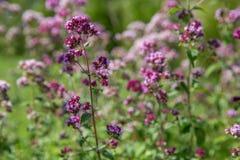 Purple flowers of origanum vulgare or common oregano, wild marjoram. Stock Image