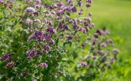 Purple flowers of origanum vulgare or common oregano, wild marjoram. Stock Photo
