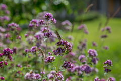 Purple flowers of origanum vulgare or common oregano, wild marjoram. Royalty Free Stock Photo