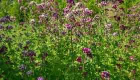 Purple flowers of origanum vulgare or common oregano, wild marjoram. Stock Photography
