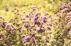 Flowering oregano in the summer garden. stock photography