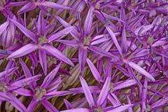 Purple flowers of ornamental onion hybrid Globemaster fill the f Stock Image