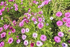Purple flowers osteospermum Royalty Free Stock Photos