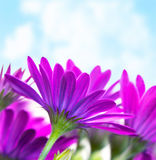 Purple flowers over blue sky. Photo of fresh purple flowers over blue sky background, florescence border, violet daisy flower, floral glade, springtime outdoors royalty free stock photos