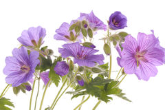 Purple flowers over white background Stock Photos