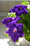 Purple flowers of petunia, growing in flowerpot in small garden on the balcony.  stock images