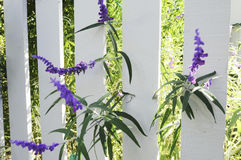 Purple Flowers on Picket Fence Stock Photography