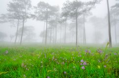 Purple flowers in pine tree forest in the mist and rain at Phu S stock photography