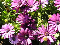 Purple flowers. Pink-purple flowers. Suitable for background. Image colors - bright pink and purple and green Royalty Free Stock Photography