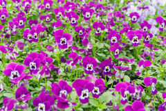 Purple flowers in a plant pot. Purple flowers in springtime in a garden Royalty Free Stock Images