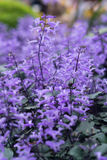 Purple flowers plantation Royalty Free Stock Photos
