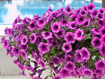 Purple flowers on the pool close up Royalty Free Stock Photos