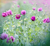 Purple flowers of poppy Royalty Free Stock Photography