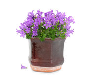 Purple flowers in pot Stock Image