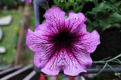 Purple flowers in pot. royalty free stock photography