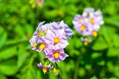 Purple flowers of potato Stock Photography