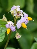 Solanum tuberosum potato plant flower. Purple flowers on a potato Solanum tuberosum plant in a field Royalty Free Stock Photography