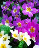 Purple flowers of primrose with yellow bright middle among young spring green grass royalty free stock photography