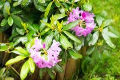 Purple flowers rainy day Stock Images