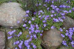 Purple flowers in the rockery. Boleslawiec, Poland - May: Aubrieta garden - purple flowers in the rockery royalty free stock image