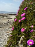 Purple flowers on rocky coastline Royalty Free Stock Photos