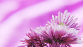 Purple Flowers Rotating on a Deep Purple Background stock footage