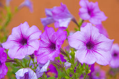 Purple flowers. The Ruellia pretty purple flowers Stock Images