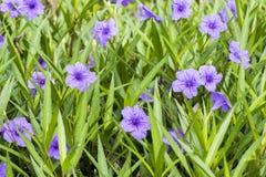 Purple flowers Ruellia tuberosa Linn. Waterkanon, Watrakanu, Minnieroot, Iron root, Feverroot, Popping pod, Trai-no, Toi ting (tha Royalty Free Stock Photo