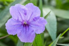 Purple flowers, ruellias, wild petunias. Stock Image
