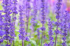 Purple flowers of Salvia Farinacea. Purple or blue flowers beautiful nature of Salvia Farinacea or Mealy Cup Sage in the flower garden stock image