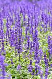 Purple flowers of Salvia Farinacea. Purple or blue flowers beautiful nature of Salvia Farinacea or Mealy Cup Sage in the flower garden royalty free stock photography