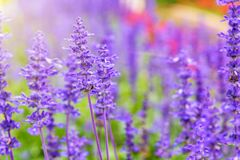 Purple flowers of Salvia Farinacea. Purple or blue flowers beautiful nature of Salvia Farinacea or Mealy Cup Sage in the flower garden under the evening sunlight royalty free stock photo