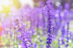 Purple flowers of Salvia Farinacea. Purple or blue flowers beautiful nature of Salvia Farinacea or Mealy Cup Sage in the flower garden under the evening sunlight stock photos