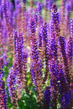 Purple flowers of salvia in garden Stock Photography