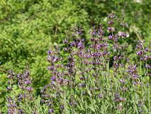 Sage plant, Salvia officinalis - essential herb using in many cuisines and medicine. Purple flowers of Salvia officinalis - essential herb using in many cuisines royalty free stock images